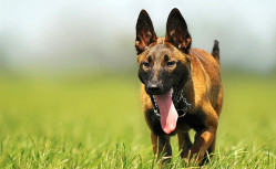 vente de mon chien Berger Belge Malinois, chien sportif, rusé et travailleur