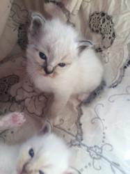 Salut chaton sacré de Birmanie sont disponibles 02 chatons puces