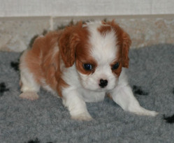 Adorable Chiot femelle Cavalier King Charles