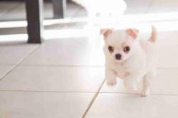 Adorable Chiot FEMELLE DE Type Chihuahua