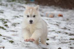 chiot husky sibérien femelle