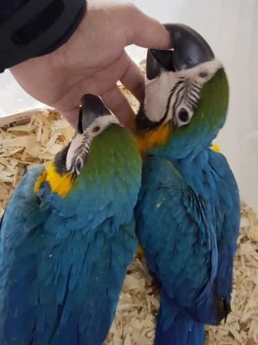 Cède Couple Perroquet Ara Ararauna