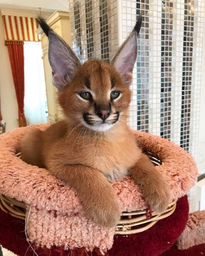 Savannah chatons Serval disponible et Caracal
