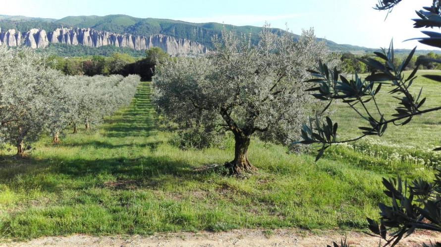 MONTFORT - Olivette 160 oliviers productifs sur 5925 m² de